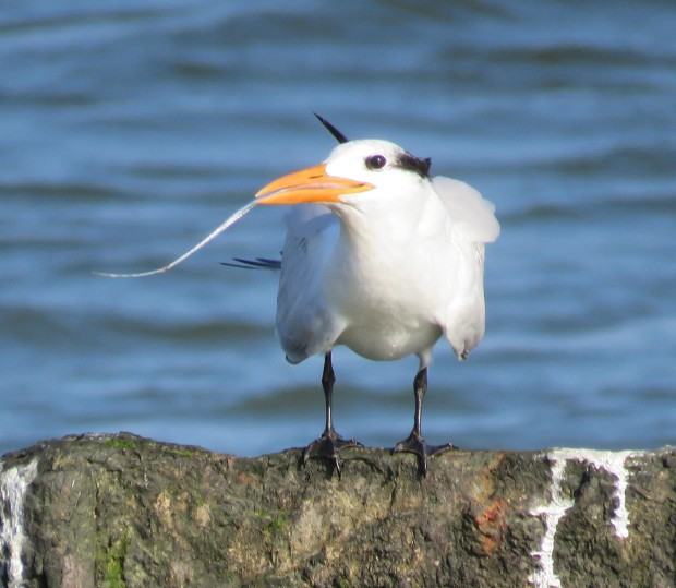 A Royal Tern trying to process its catch.
