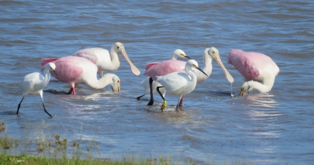 Snowy Egrets and Roseate Spoonbills.