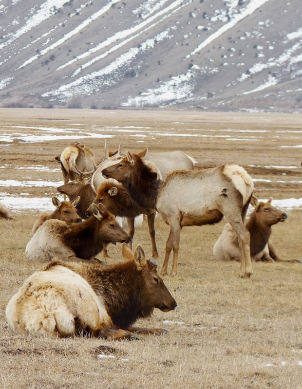 Dozens of elk on the refuge.