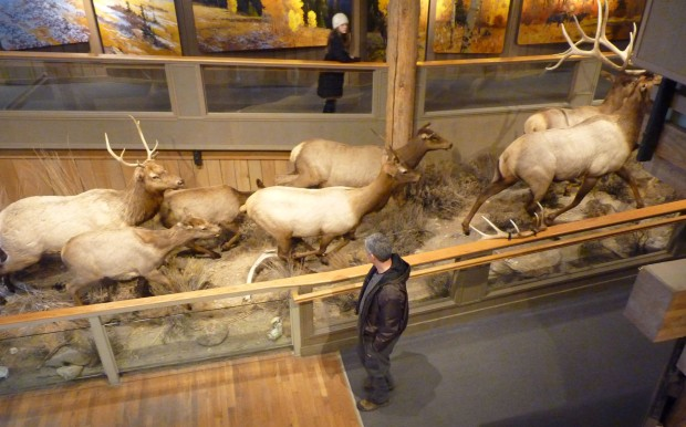 The mounts in the museum ensure that visitors can get an idea of what elk look like, even in summer when they are up in the mountains. (They wouldn't all fit in one shot.)