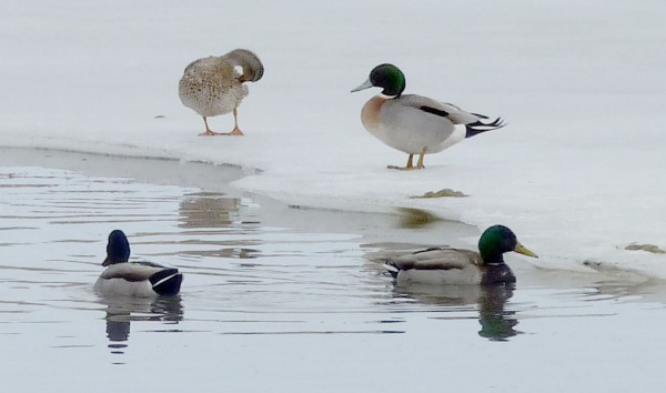 Mallards in the icy pond.