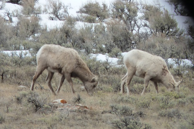 Rocky Mountain bighorn sheep ewes.