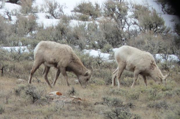 Rocky Mountain bighorn sheep ewes.