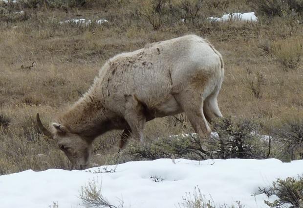 Rocky Mountain bighorn.