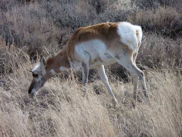 A pronghorn we saw somewhere in western Wyoming.