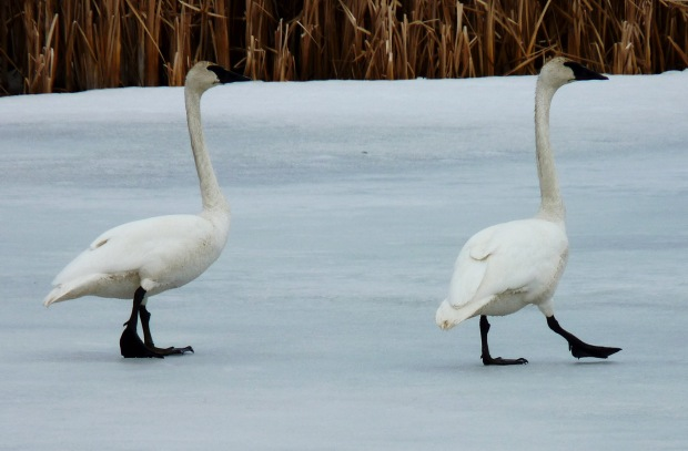 Trumpeter Swans at the National Elk Refuge in Jackson, Wyoming.