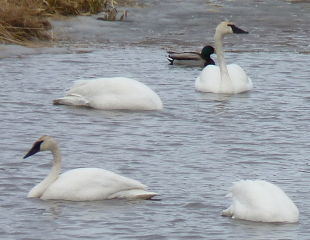 Four of the swans.