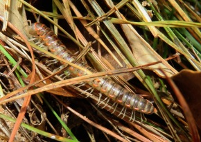 First invertebrate of the year, Flat-backed Millipede.