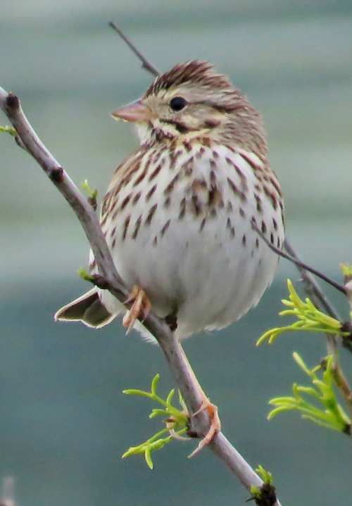 Savannah Sparrow, Goose Island State Park, TX.