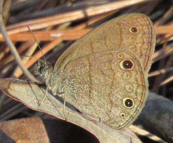 Carolina Satyr, Hermeuptychia sosybius. For such a little butterfly, it has a long Latin name!