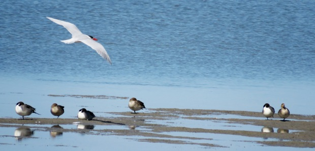 A tern and Northern Pintails.