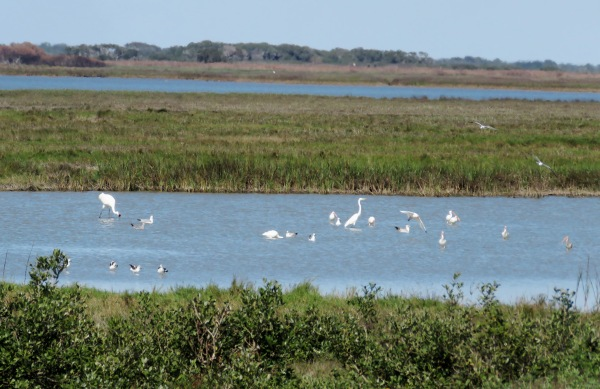 One Whooper, with a Great Egret, some White Ibis, Ring-billed Gulls, and American Avocets.