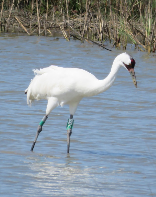 Whooping Crane.