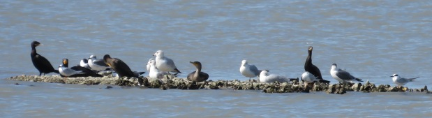 Cormorants, gulls, and terns.
