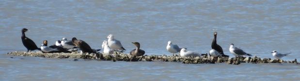 Cormorants, gulls, and terns.