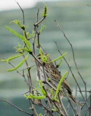 savannah sparrow 2