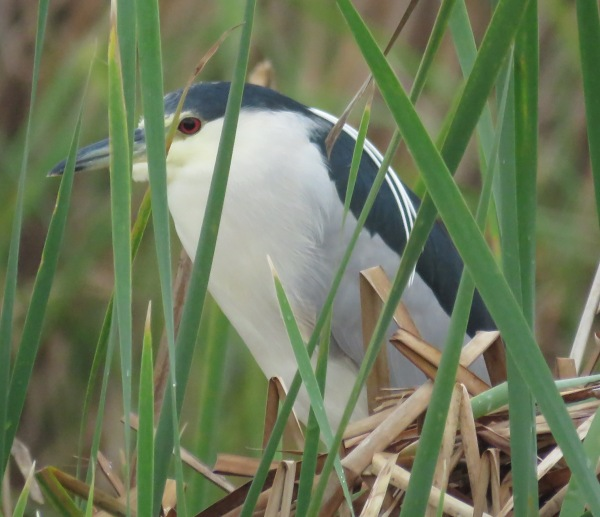 Black-crowned Night Heron.