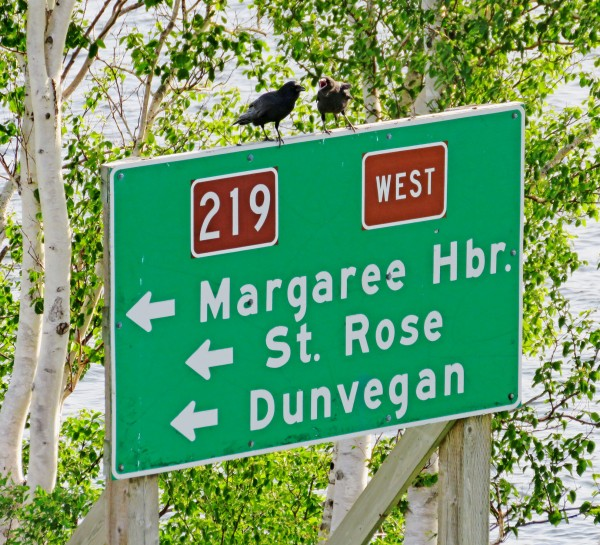 crows on road sign