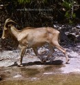 Auodad, also known as Barbary sheep, introduced from North Africa.