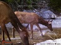 Elk cow and calf.