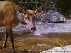 Elk cow.