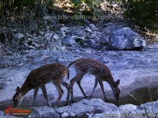 Whitetail fawns.