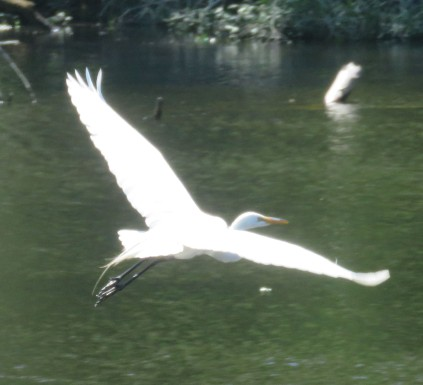 Great Egret flying.