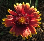 Indian Blanket, Gaillardia pulchella