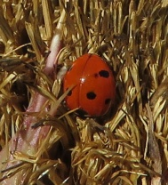 Some sort of Lady Beetle.