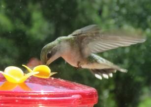 Ruby-throated Hummingbird female in flight.