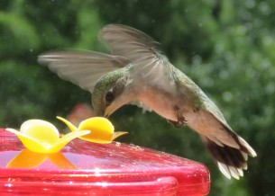 Ruby-throated Hummingbird, at a feeder stuck to the window, allowing me a good look.