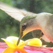 Ruby-throated Hummingbird, close up.