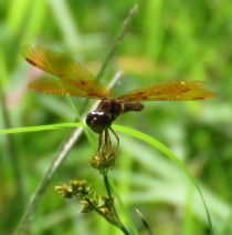Possibly an Eastern Amberwing.