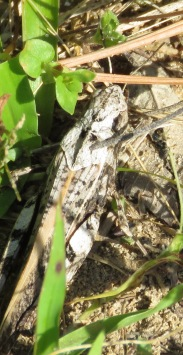Well-camouflaged grasshopper.