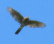 Broad-winged Hawk, I think.