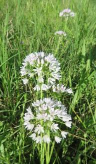 Wild Onion, Allium canadense v. canadense