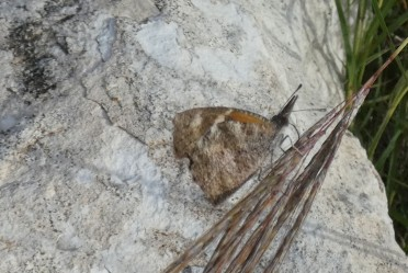 American Snout, ventral (underside) view, showing how it blends in with the limestone rocks.