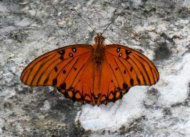 Gulf Fritillary, Agraulis vanillae