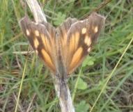 American Snout, Libytheana carinenta, dorsal (upper side) view.
