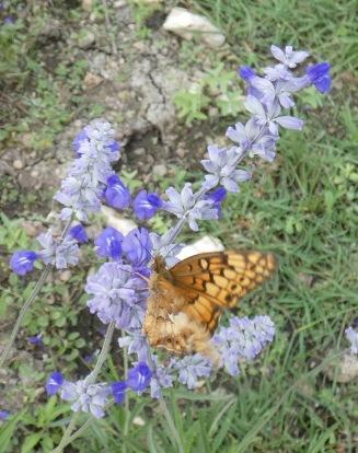 Variegated Fritillary, Euptoieta claudia.