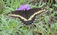 Black Swallowtail, Papilio polyxenes.