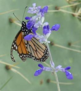 Monarch, Danaus plexippus