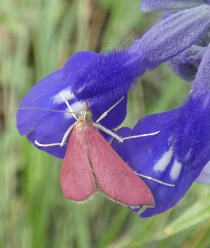 Southern Pink Moth, Pyrausta inornitalis