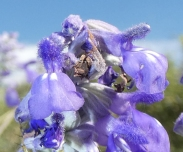 Detail of the Mealy Blue Sage, Salvia facinacea.