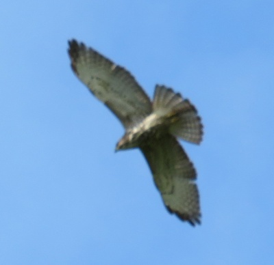 broad-winged hawk soaring