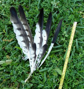 hawk feather clump with measuring tape