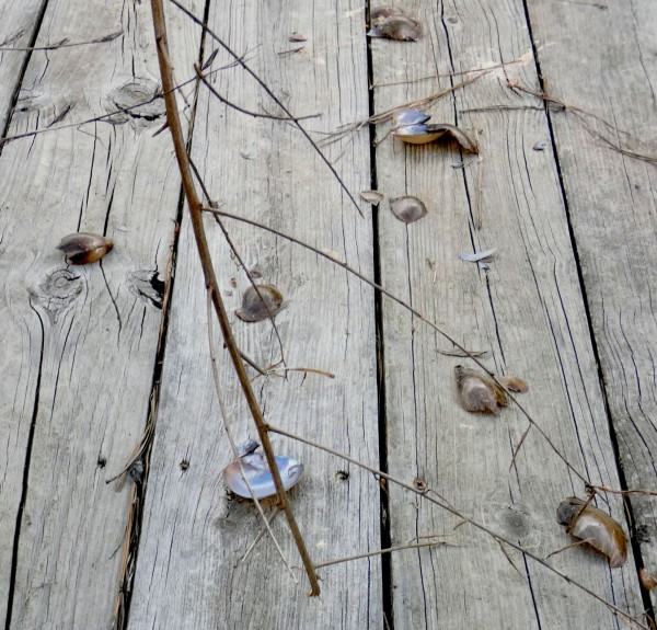 pond mussel shells on dock