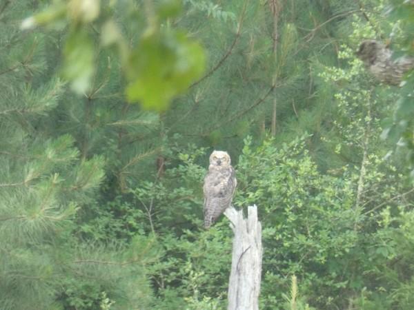 Great Horned Owl fledgling on tree stump.