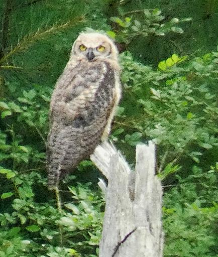 Great Horned Owl fledgling.