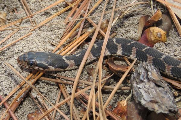 Plain-bellied Snake, Nerodia erythrogaster, juvenile